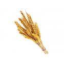 Germe de blé