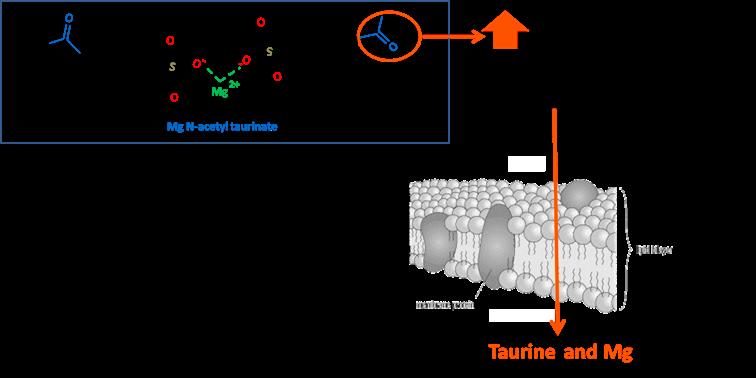 BIO-DISPONIBILITÉ : l'acétyl-taurinate de magnésium (ATA-Mg®)