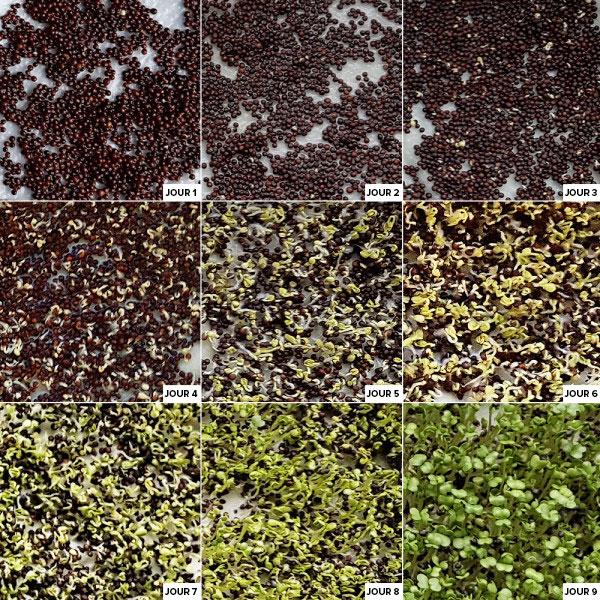 Germination des graines de brocoli de Dr. Jacob's®