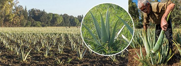 Plantation d'aloe vera de Dr. Jacob's®