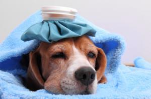 Le chien et ses allergies, les symptômes et traitements !